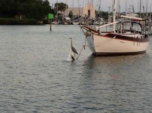 Heron Fishing from Mooring Ball