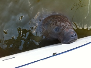 Manatee Drinking Water from ARiverDerci's Port Drainhole