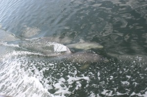 Dolphins Swimming With Us in the Indian River